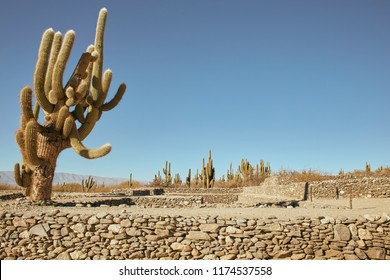 Cactus Plant of Quilmes Ruin in Tucumán Province Aimacha del Valle Desert Pre Columbian Culture Quechua American Ancient Construction Stone Building Terrace in Aboriginal Argentina