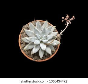 Cactus plant or sedum succulent with flower in pot from above isolated on black