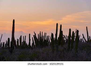 cactus plant at sunset on the Caribbean island of Aruba