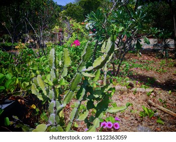 Cactus Plants Beach Plants Grows On Pemuteran Beach North Bali