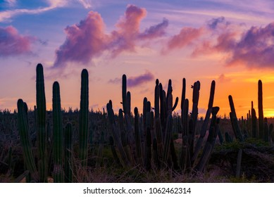 cactus plants at sunset on Aruba island in the Caribbean