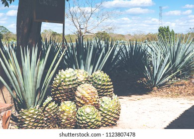 Cactus plants for tequila manufacturing. Image has a vintage effect applied.