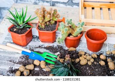 cactus in a pot, flower transplantation, home gardening