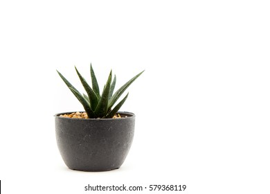 Cactus in a pot isolated