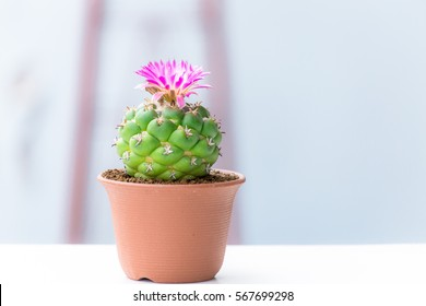 A cactus in pot on wood background, lovely plant indoor
