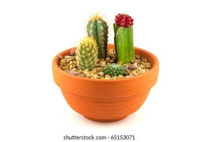 Cactus pot plant