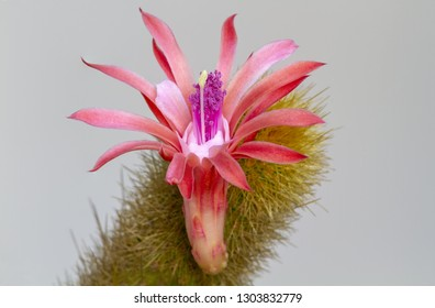 Cactus rabo de macaco - Hildewintera colademononis Cactus