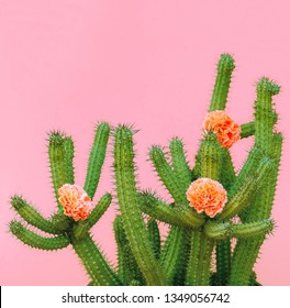 Cactus and roses decor. plants on pink concept