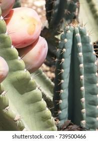 Cactus with Sabra fruits