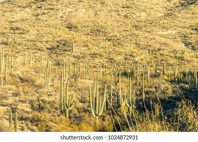 cactus in Saguaro National park near Tucson arizona desert plants and landscape nature
