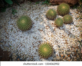 Cactus selective focus on topview, Golden barrel cactus in garden