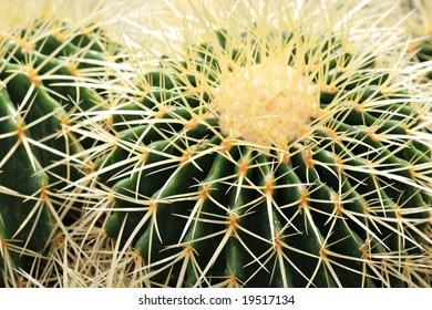 Cactus Sharp Spikes Closeup
