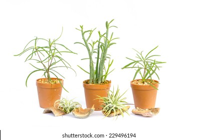 Cactus in the small pots on white background