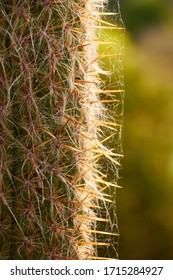 Cactus spikes detail on a blurred background, selective focus