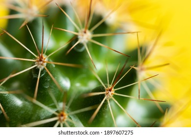 Cactus spines on a yellow background closeup
