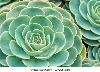 Cactus and Succulent Echeveria (Crassulaceae Echeveria sp.).A succulent flower shaped like a rose. The leaves are compressed into layers, superficially look like a rose. But when touched.