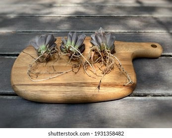 Cactus and succulent, Root of haworthia washed spores of powdery mildew or white mold and desiccated on wooden board.