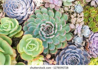 Cactus succulents in garden.