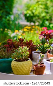 Cactus succulents outdoor Natural background. Adorable Echeveria agavoides succulent plant in summer garden. Vertical image.