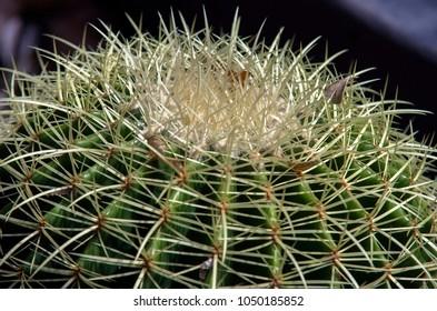 Cactus texture closeup