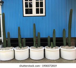 Cactus in white pots, in order of 5 pots.