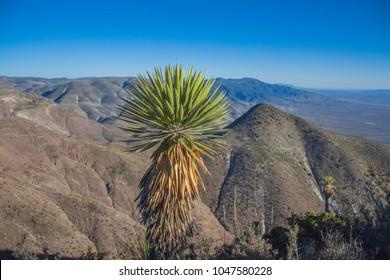 Cactus in wirikuta sacred city of the huicholes, san luis potosi mexico