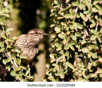 Cactus wren peers out from its position inside an ocotillo.