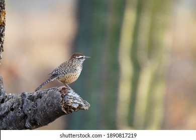 Cactus Wren perched on a branch - State bird or Arizona