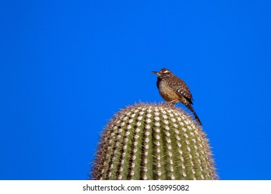 Cactus Wren perches atop a Giant Saguaro cactus in the Sonoran Desert of Arizona