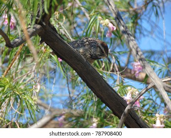 Cactus Wren at rest on a desert tree branch with pink blossoms in the Sonoran Desert in Arizona