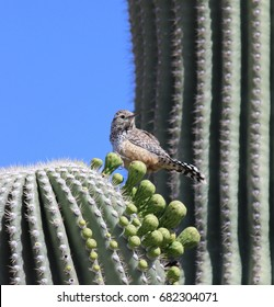 Cactus Wren, Tuscon Arizona Head Turned