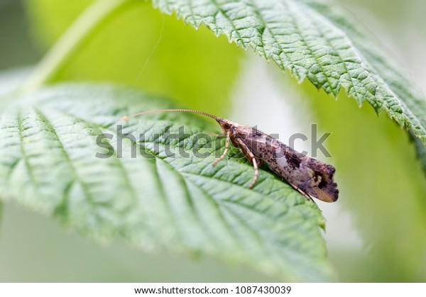 Caddisfly (Trichoptera) seats on green leaf macro portrait. Close up horizontal shot