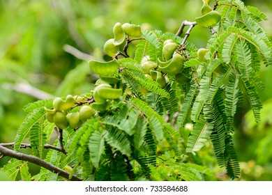Caesalpinia coriaria (DIVI-DIVI) ; Special features of inflorescence. Bouquet consist with a large number of tuft.  Greenish white (or) light yellowish green petals. Full of aroma during rainy season