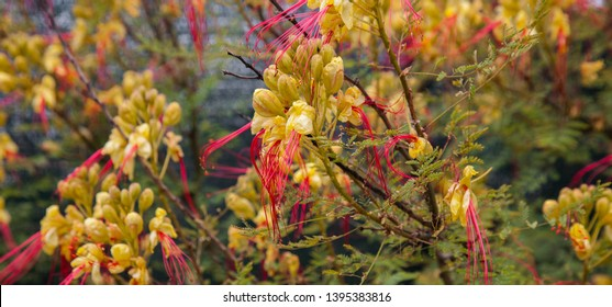 Caesalpinia Gilliesii also known as Ave del paraíso or goatee