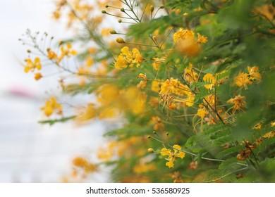 Caesalpinia pulcherrima, Flamboyant, Peacock Flower, Royal Poinciana yellow flowers in nature background