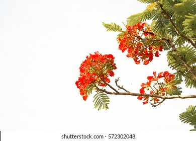 Caesalpinia pulcherrima flower or Peacock flower on white background