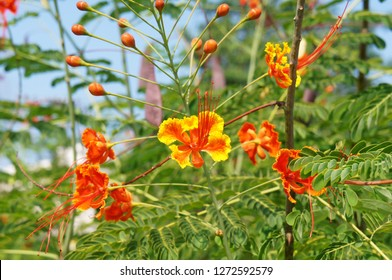 Caesalpinia pulcherrima or peacock flower or barbados pride red and yellow flowers