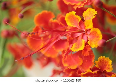 Caesalpinia pulcherrima Sw. tropical plant tree with colorful flowers in red orange and yellow under natural sunlight outdoor.