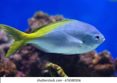 Caesio teres, the yellow and blueback fusilier