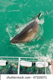 Cage divers face a Great White Shark