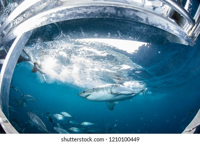 Cage diving with the Great White Shark, Western Australia