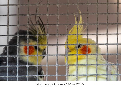 Caged birds with yellow and orange faces being kept as pets