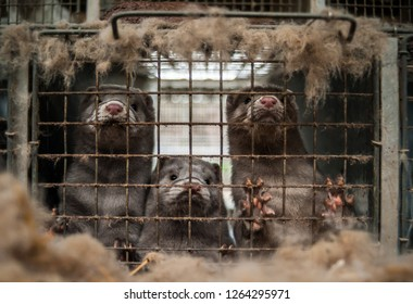 Caged mink from farm