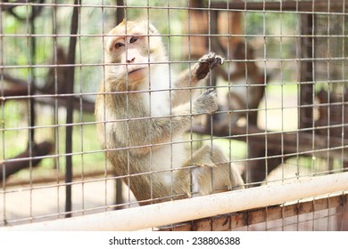 Caged Monkey looking out, Long Tailed Macaque