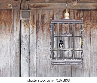 A caged White breasted woodswallow which is a small Passarine bird of the genus Corvidae in a solitary birdcage against a exotic grungy timber plank wall.