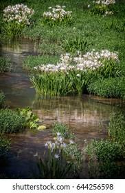 Cahaba River 2017 season reflections of  Cahaba Lily on the river.