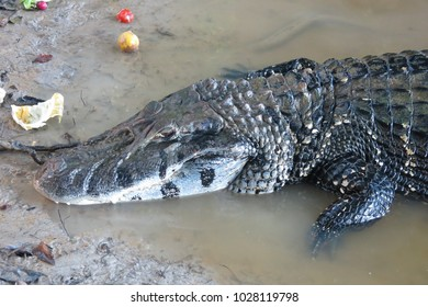 Caiman (Caimaninae) at Bolivian Pampas. Yacuma National Park, Amazon, wildlife reserve. (Amazonia, Bolivia)