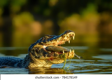 Caiman Crocodile Absorbing Heat Shot In The Wild Amazonian Basin In Ecuador