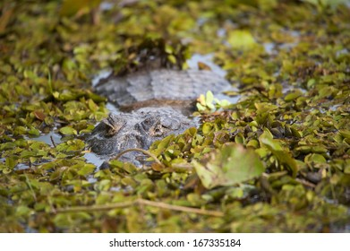Caiman hunting in camouflage in a lake