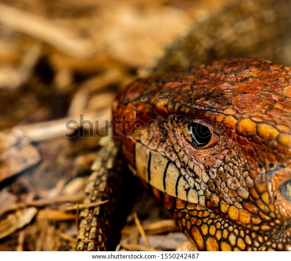 Caiman Lizard This One Species Extremely Stock Photo Edit Now 1550242487